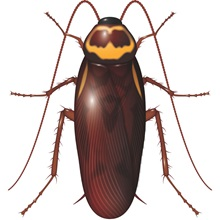 "<img src=""/-/media/PRF Master/Problem images/Pests/Australian Cockroach.ashx?h=800&la=th-TH&w=800"" alt="""" width=""800"" height=""800"" />"