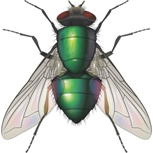 "<img src=""/-/media/PRF Master/Problem images/Pests/Blow Fly.ashx?h=800&la=th-TH&w=800"" alt="""" width=""800"" height=""800"" />"