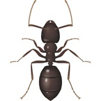 Black Ant - Bayer Pest Control